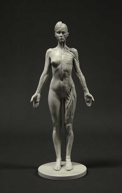 anatomy tools female figure in grey muscle structure