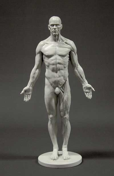 anatomy tools male figure in grey with muscle detail