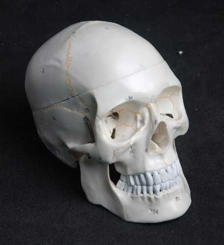 anatomy tools human skull life size