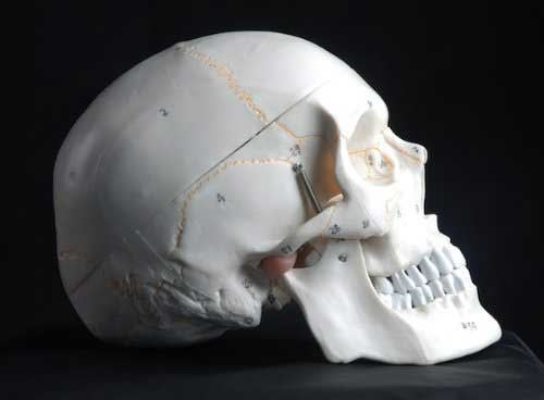 anatomy drawing tools human skull life size